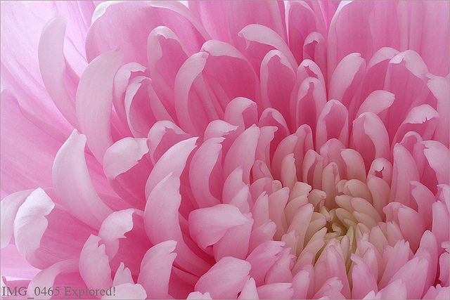 Pink Flower Macro - IMG_0465 by Bahman Farzad, via Flickr <3 <3