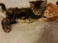 Sweet kittens Kittens, Cats for sale