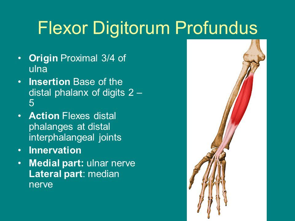Flexor Digitorum Profundus Origin And Insertion Google