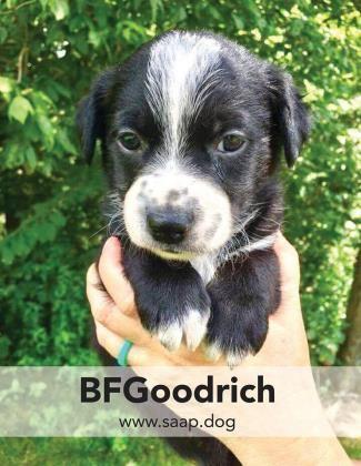 Labrador Retriever Dog For Adoption In Newport Ky Adn 653036 On Puppyfinder Com Gender Male Age Bab Labrador Retriever Dog Dog Adoption Labrador Retriever
