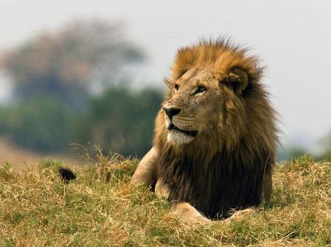 Saving The Last Wild Lions Fundraiser And Silent Auction At The
