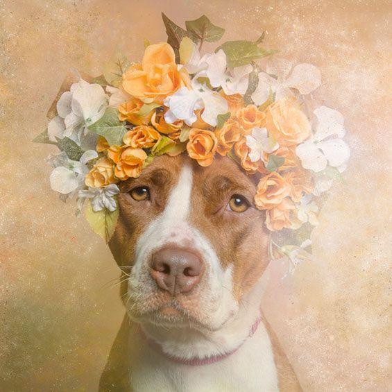 gamand-photo12   Питбуль, Сила цветов и Собаки