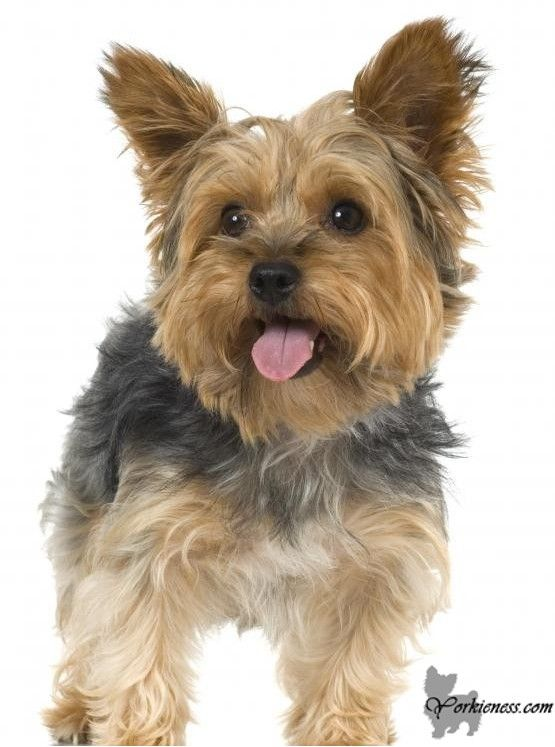 All About The Yorkshire Terrier Breed Full Information
