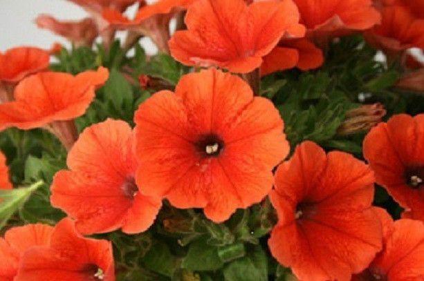 50 Pelleted Candypops Orange Pelleted Petunia Seeds Candy Pops