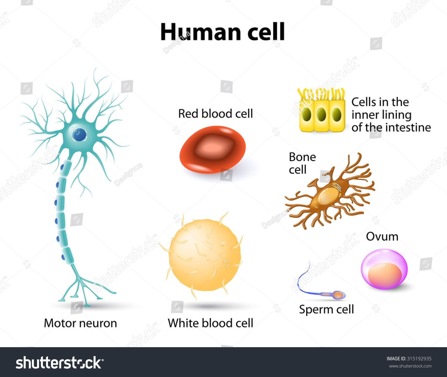 hight resolution of human cell motor neuron red blood cell and white blood cell bone cell sperm cell and ovum
