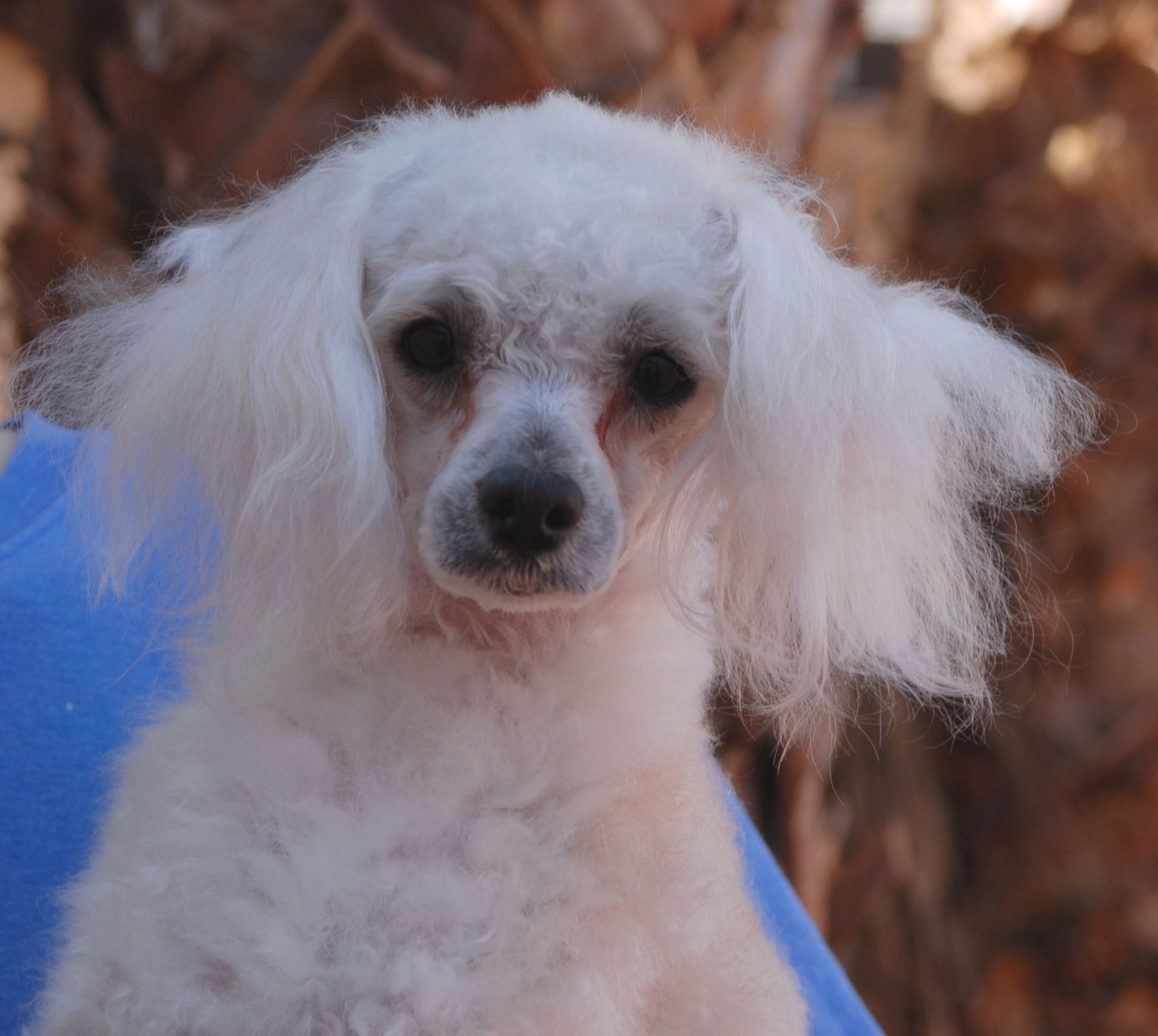 Bobby, a rescued young Toy Poodle mix, gentle boy