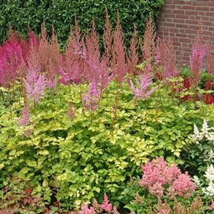 Astilbe Color Flash Lime Buy False Spirea Perennials Online Shade Perennials Astilbe Plants