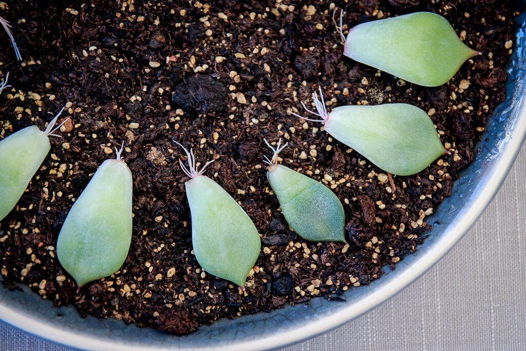 sukkulenten vermehren sukkulenten stecklinge und steingew chse