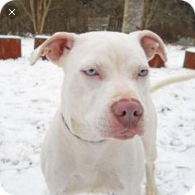 Pin By Jamal Laster On Pets White Pitbull Puppies White Pitbull