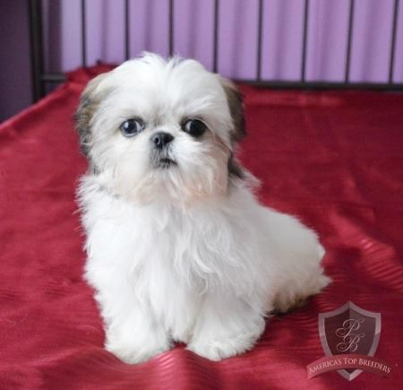 Amy The Female Shih Tzu New Jersey Shih Tzu Breeders Shih Tzu Shih Tzu Breeders Shih Tzu Puppy