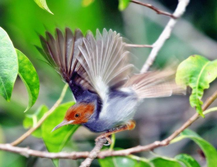 Cara Melatih Mental Burung Ciblek Agar Bisa Siap Lomba Latihan Burung Jalak