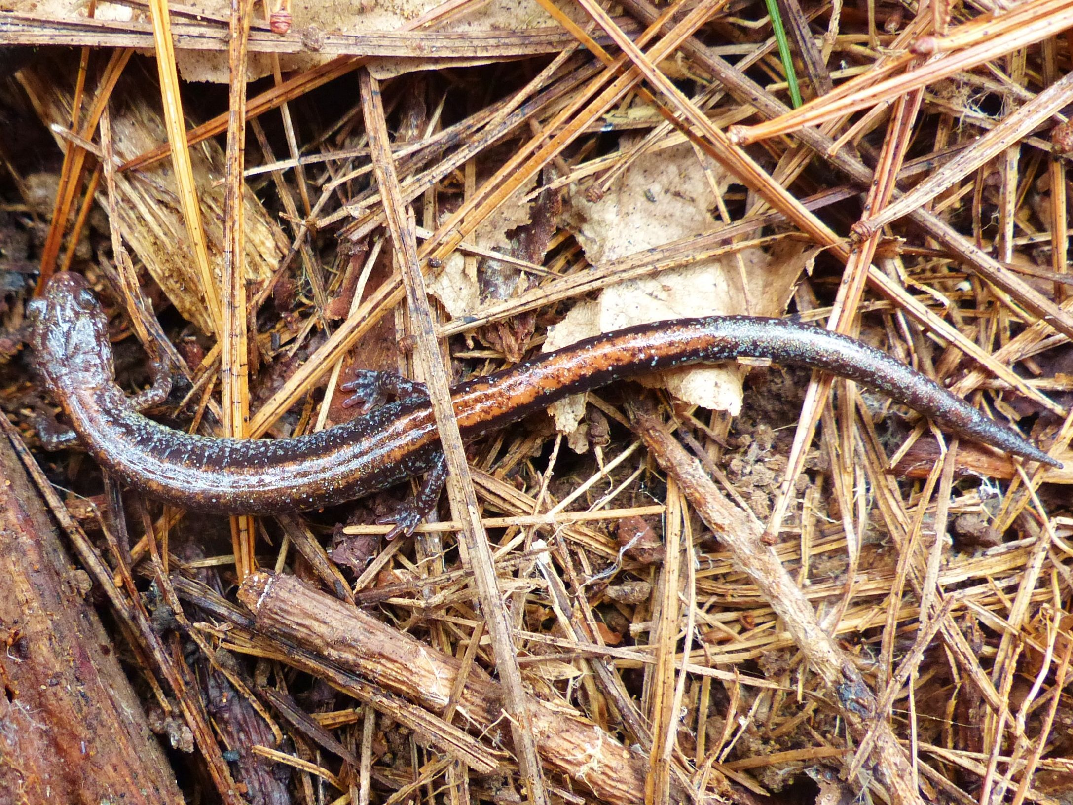 Here's a RedBack Salamander found at Camp Ilchester at