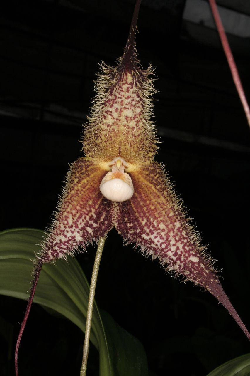 Dracula chimaera pinteresting orchids pinterest dracula