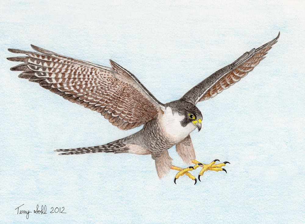 4+ Types of Falcons Species with Pictures Bird sketch