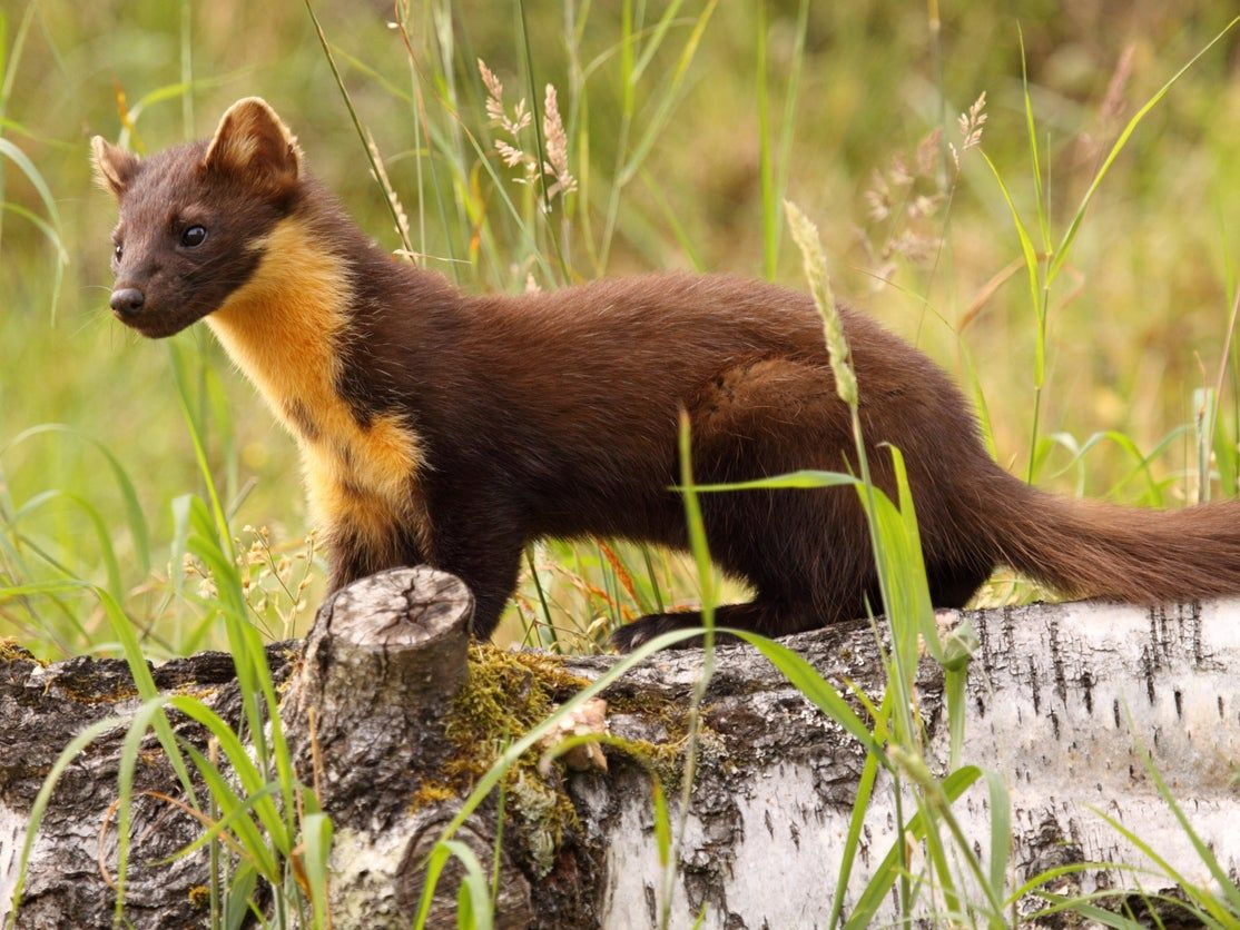 Pine martens reintroduced at 'secret location' in Forest