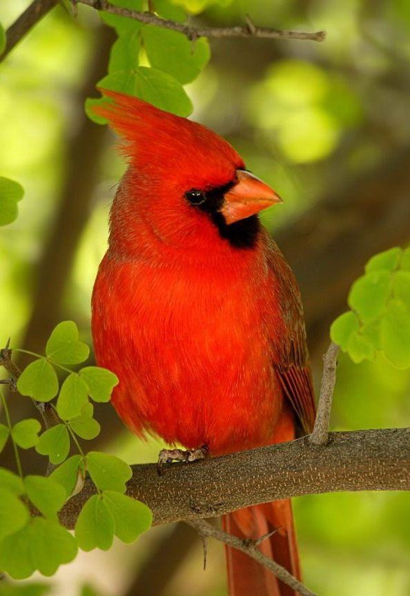 El Cardenal Norteno Cardinalis Cardinalis Tambien Conocido Como Cardenal Rojo O Simplemente Pajaros Cardenales Imagenes De Pajaro Fondo De Pantalla De Aves