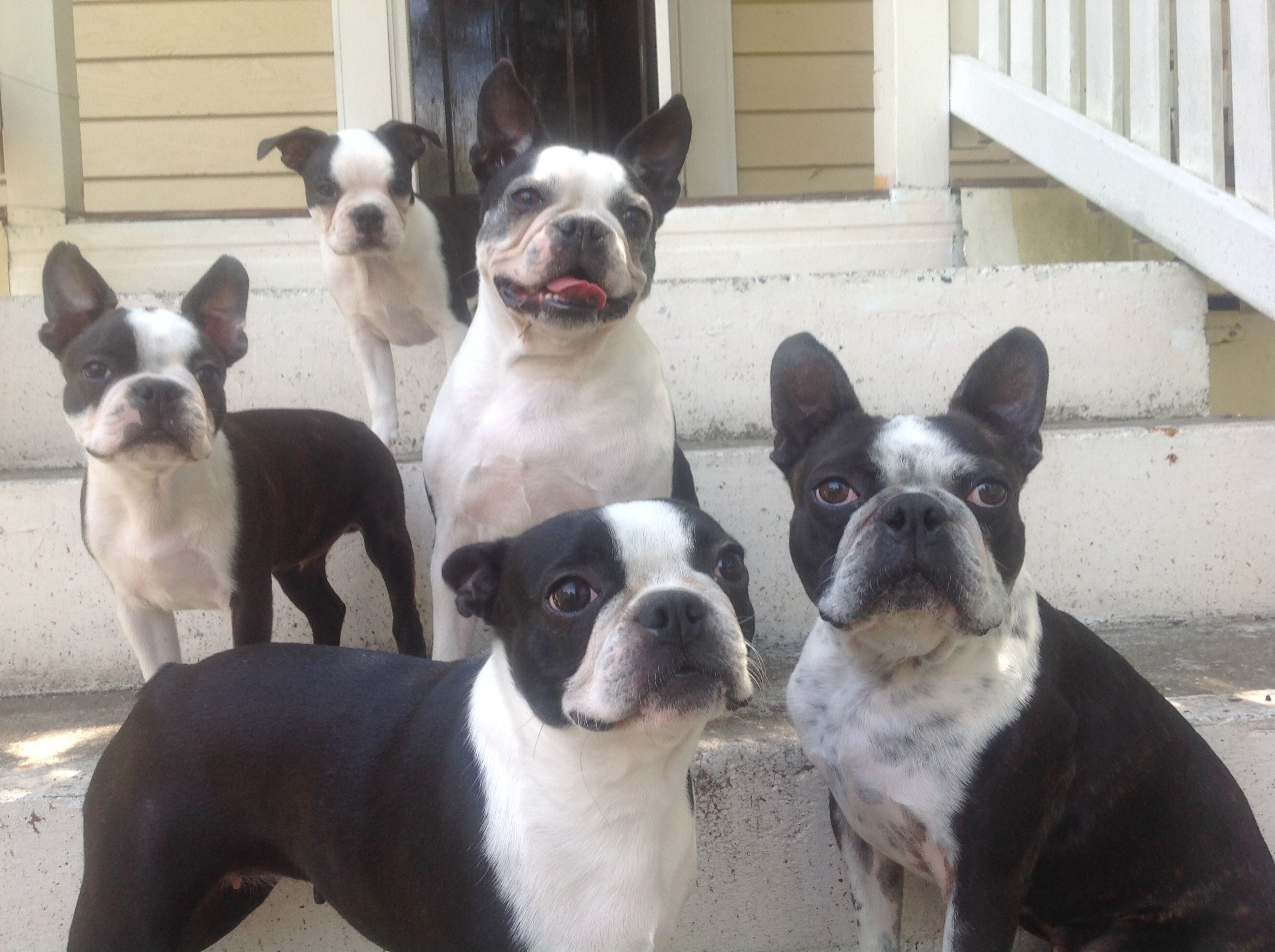 A Boston Terrier pack at the steps of Woodend Cottage | Boston ...