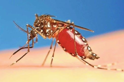 Casos nacionais de febre 'prima da dengue' já chegam a 211 no Brasil | ARACATIAÇU EM AÇÃO