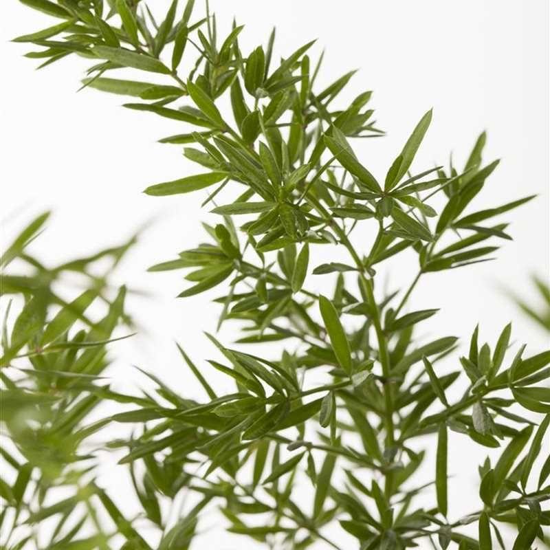 Asparagus Densiflorus Sprengeri Sprengers Zier Spargel Sprengeri Online Bestellen Kaufen 1a Garten Ammer In 2020 Pflanzen Spargel Einblatt