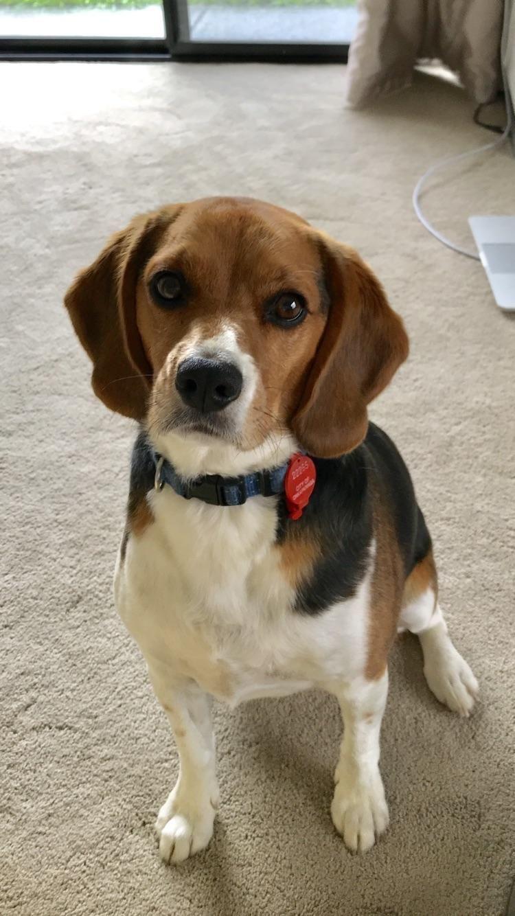 Beagle Friendly And Curious Beagle Puppy Beagle Dog Beagle