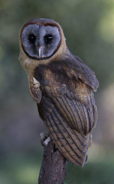 Ashy Faced Owl    <3