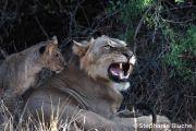 <h5>FEL_0047</h5><p>Lion / Panthera leo / Lion _ Parc National de Samburu, Kenya, Afrique du Sud</p>