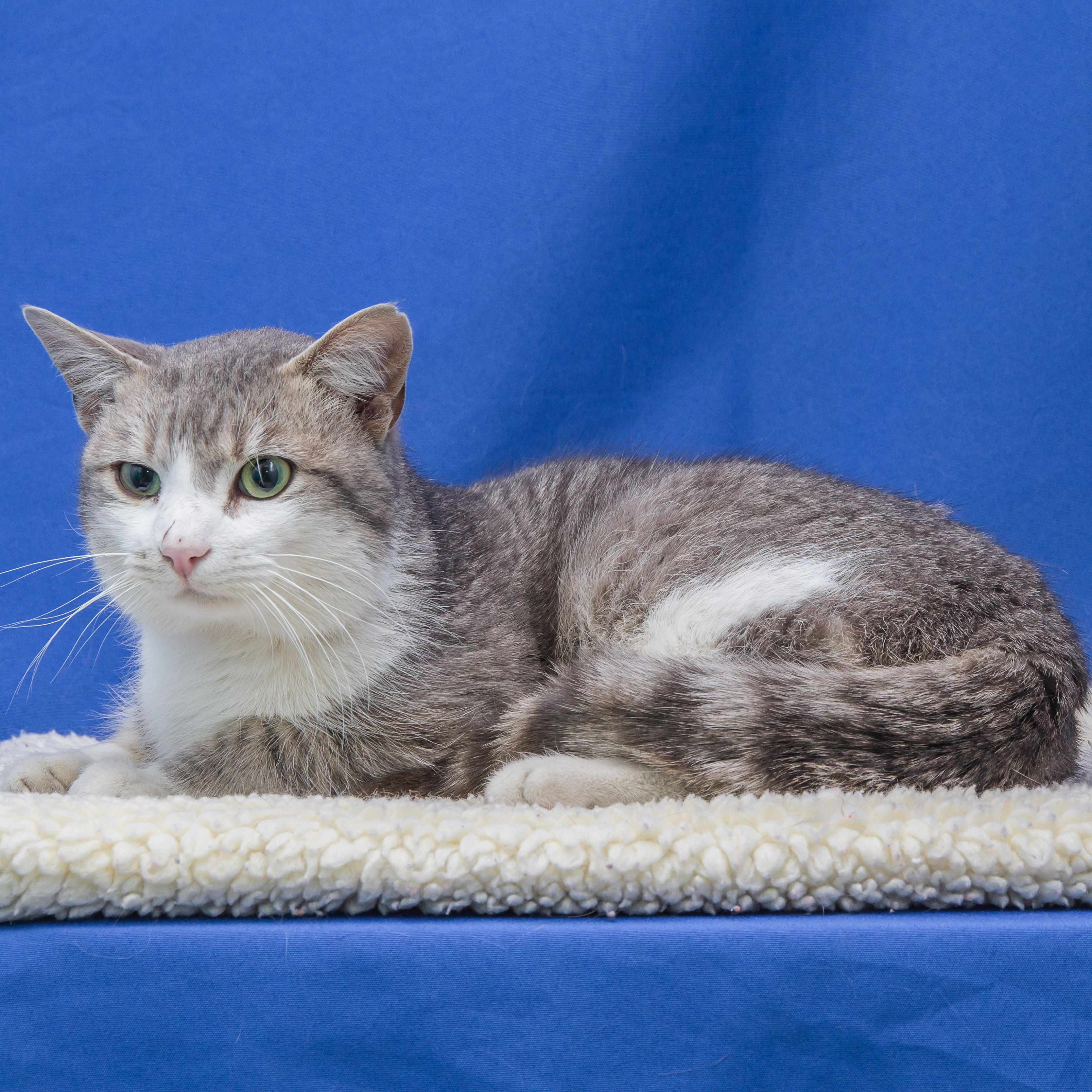 Silver Fox A 5 Year Old Male Needs A New Foreverhome Opt2adopt Kittylove Adoptme Humane Society Of Greater Dayton Animals Humane Society Pet Adoption