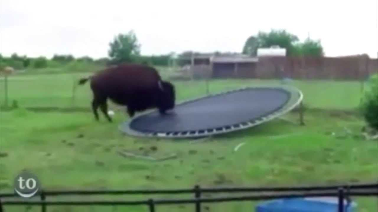 Animals Discovering Trampolines Oh My God Everybody Needs To Watch This Video Its Just To Funny To Pass Up And That Last Scene Though