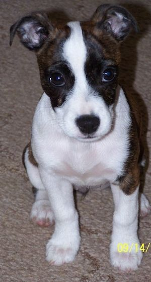 Bojack ♥ (Boston Terrier and Jack Russell Terrier Mix ...