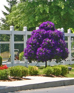 Petunia Tree I Have Never Seen This Before Beautiful Gardens Plants Garden Trees