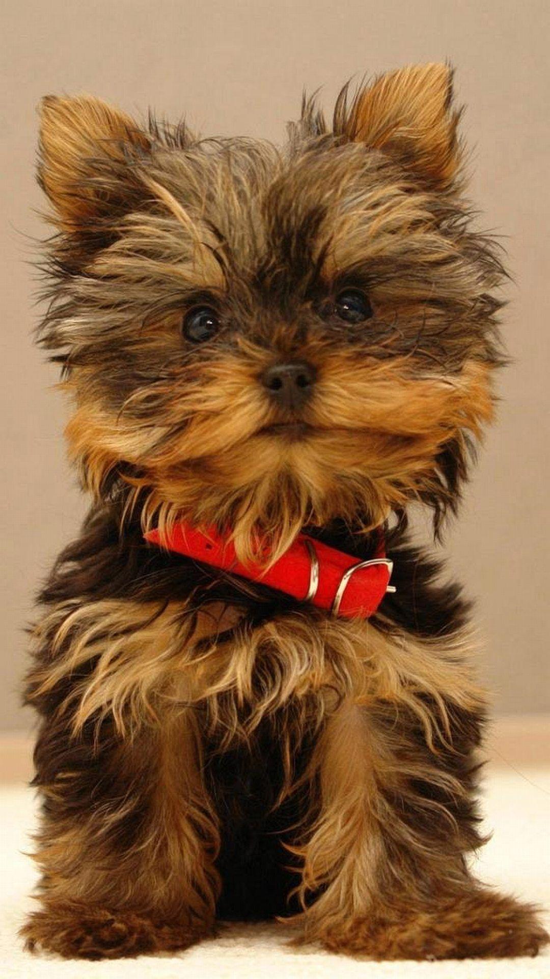 Yorkshire Terrier Puppy Best Htc One Wallpapers Free And Easy To Download Yorkshire Terrier Puppies Yorkie Puppy Yorkshire Terrier Dog