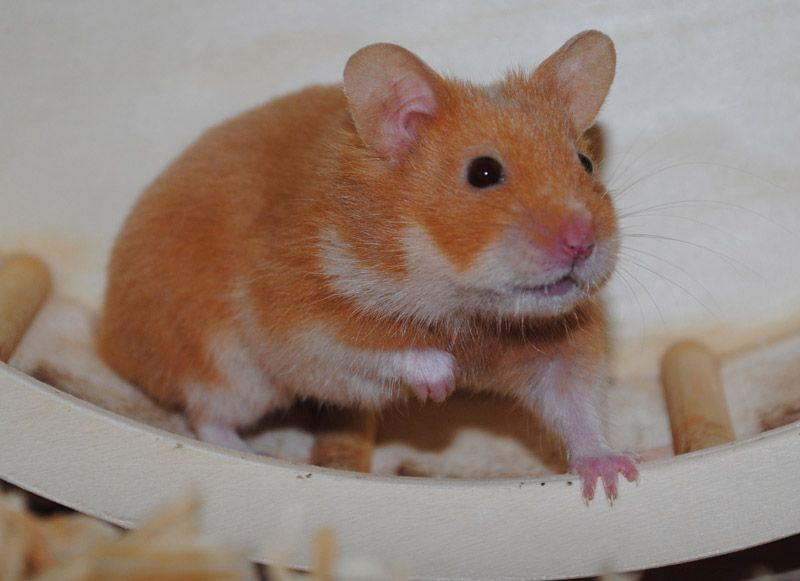 Cinnamon sh hamster (pp - ll)