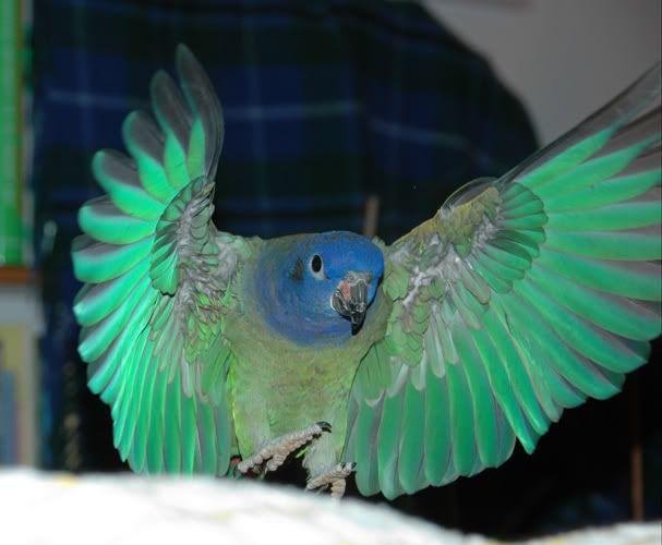 old feathers vs molting : Pionus Chat   Pionus, Parrot ...