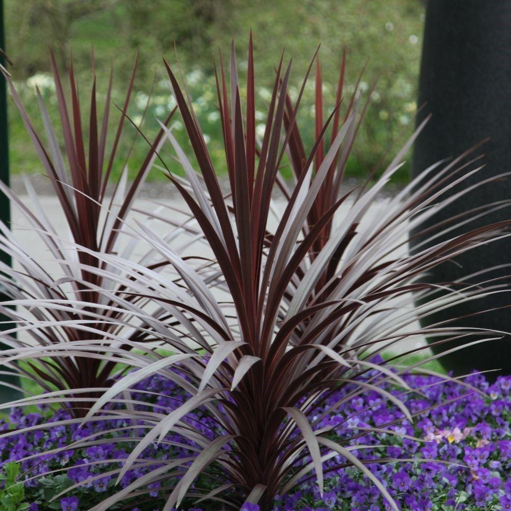 Cordyline australis red star cabbage palm plants