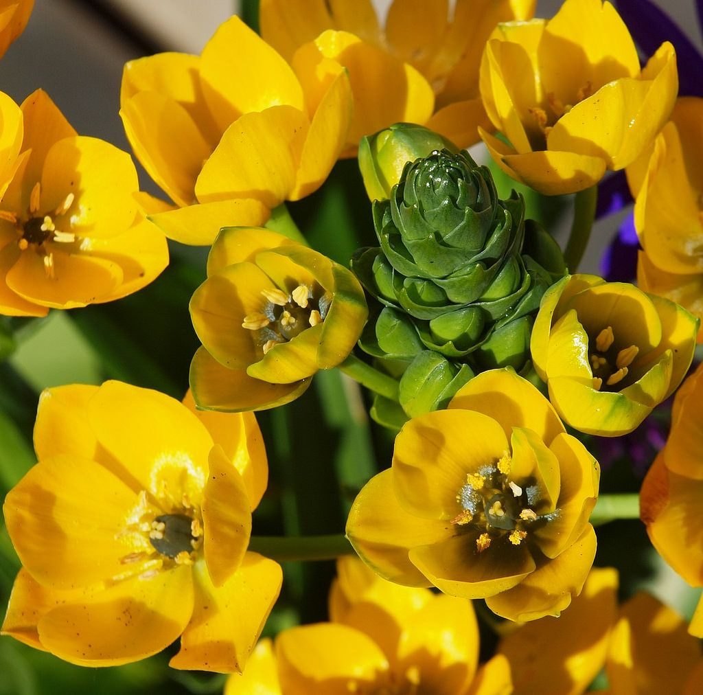 Ornithogalum Yellow Getting Married In March See Our Seasonal