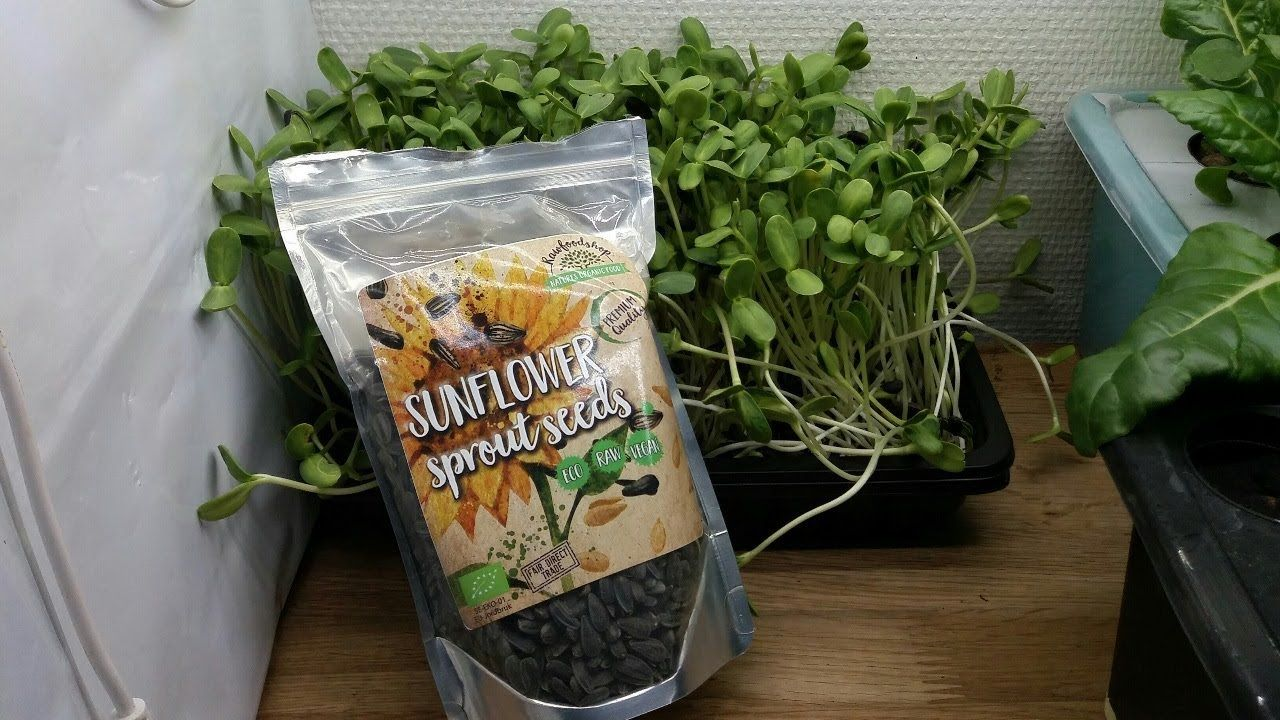 Sunflower Microgreens With Soil In 2020 Microgreens Growing Microgreens Soil