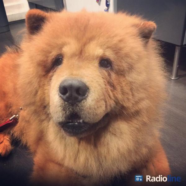 Nous avons un nouvel utilisateur de Radioline ! #chowchow #chien