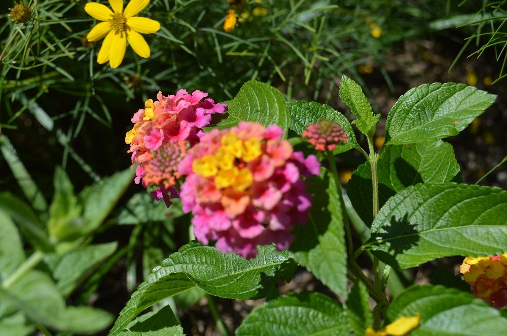 Lantana Camara Landmark Series Common Name Lantana Plant Story Vibrant Flowers All Summer Long The Often Bico Plants Lantana Plant Container Gardening
