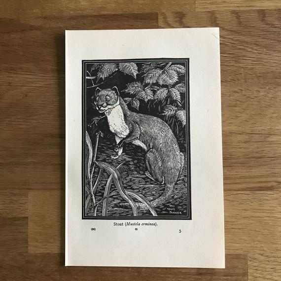 Stoat Print-1949-Illustration-Neave Parker-Lino Cut-Engraving-British Isles-Vintage-Home decor #britishisles Stoat Print-1949-Illustration-Neave Parker-Lino Cut-Engraving-British Isles-Vintage-Home decor #britishisles