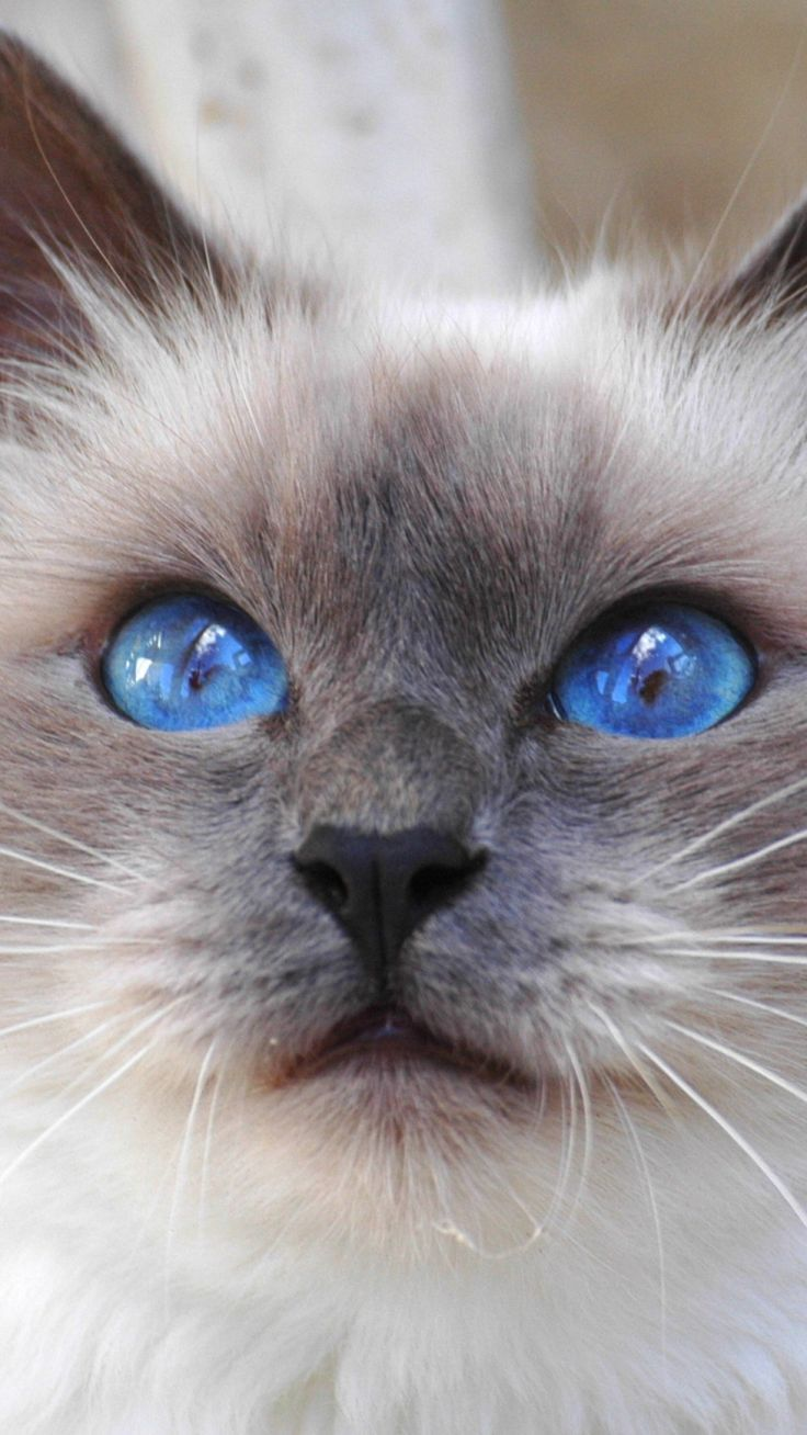 kitty cat face color furry blue eyes cute animal nature