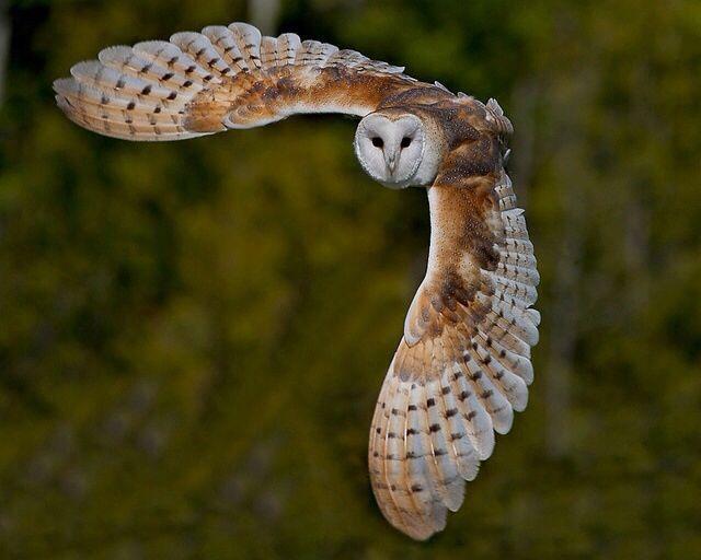 大きな翼を広げるフクロウの壁紙