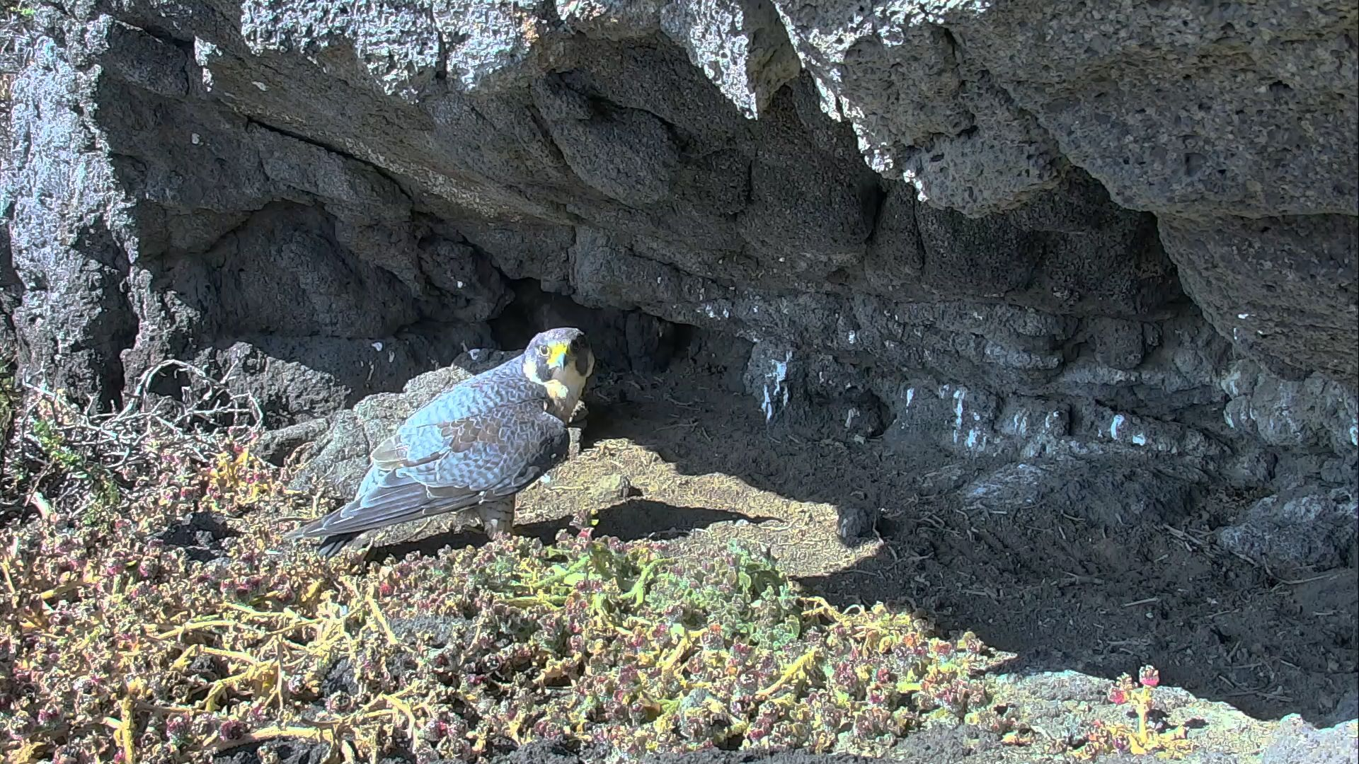 Live Video Of A Falcon Nest On Anacapa Island Off The Coast Of California Watch As The Falcons Raise Their Young And Teach T Peregrine Falcon Peregrine Falcon