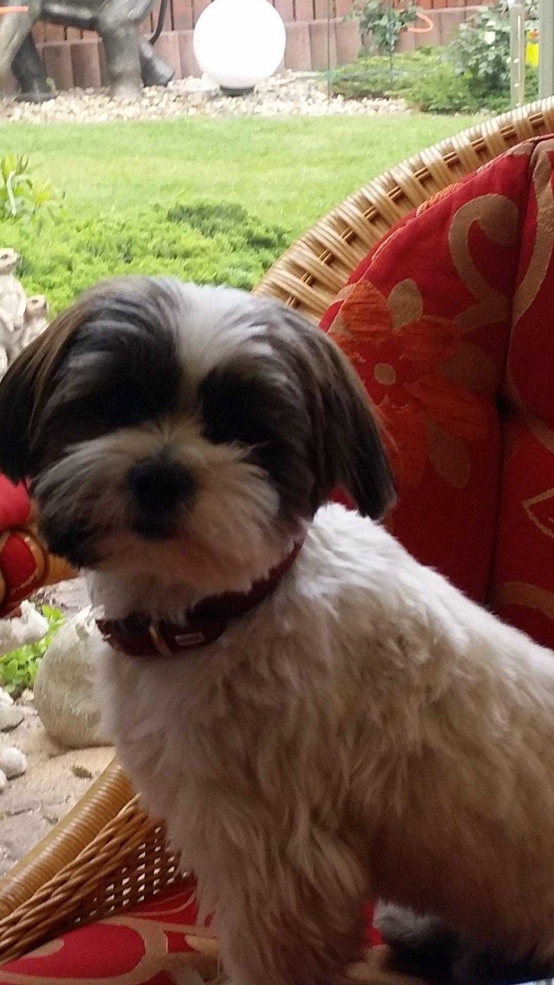 Shih Tzu Mix Bobby Berlin Shihtzu Shih Tzu Dog Vitamin Shih Tzus