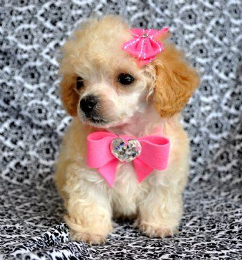 Tiny Teacup Poodle Adorable Apricot Princess 19oz At 9 Weeks