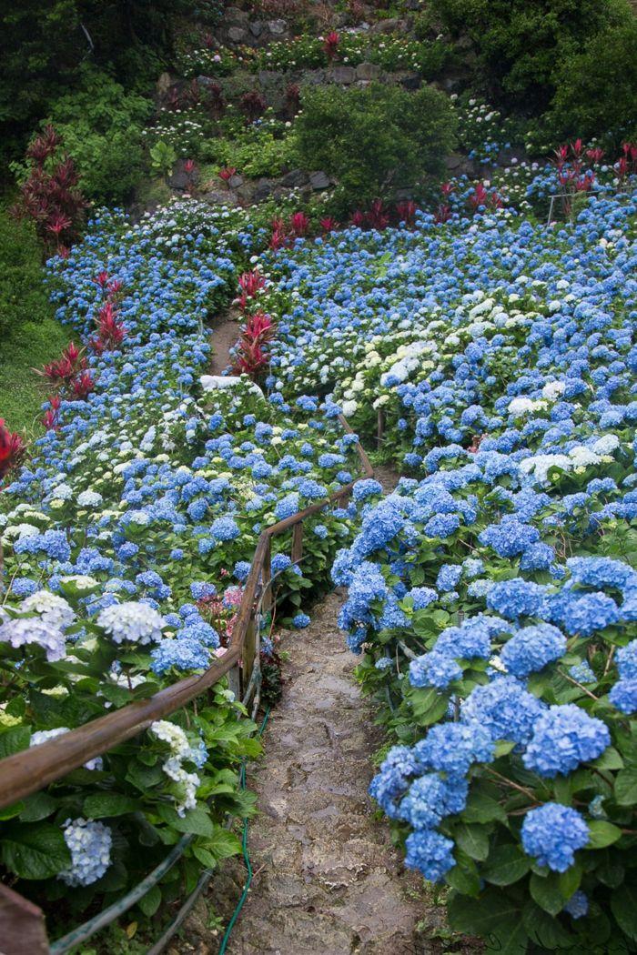gartenblumen blaue hortensien erfischen den außenbereich ...