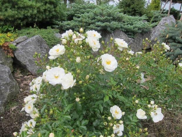 Flower carpet white roses rocks add evergreens for interest white flower carpet white roses rocks add evergreens for interest mightylinksfo