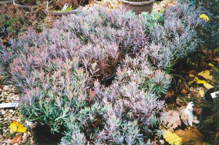 bachmans garden center. Find Blue Ice Bog Rosemary (Andromeda Polifolia \u0027Blue Ice\u0027) In Hamilton Burlington Waterdown Dundas Ontario ON At Connon Nurseries CBV Bachmans Garden Center