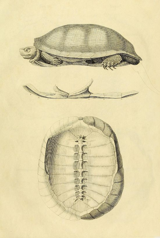Turtle Anatomy, in Stunning Images from 1820 | Brain Pickings