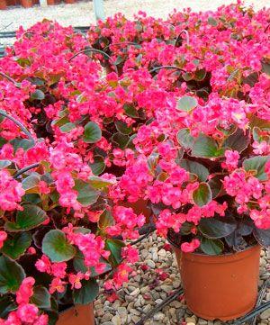 begonia   Begonia, Plantas, Vivero