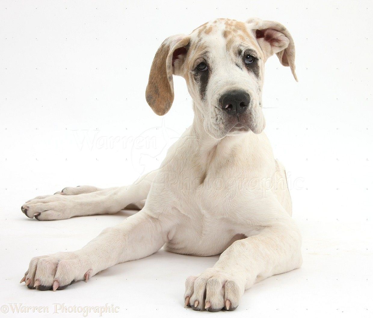 Great Dane Puppy Fawnequin Puppy Dog Photos Great Dane Puppy Great Dane